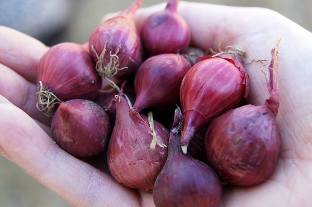 how to grow onions from bulbs