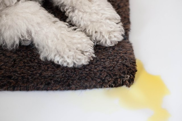 How To Get Dried Dog Urine Out Of Carpet With Pictures