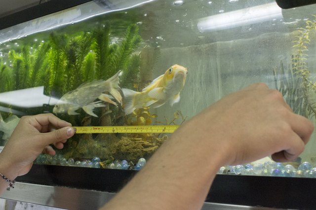How to keep koi fish in an aquarium with pictures ehow for Coy fish tank