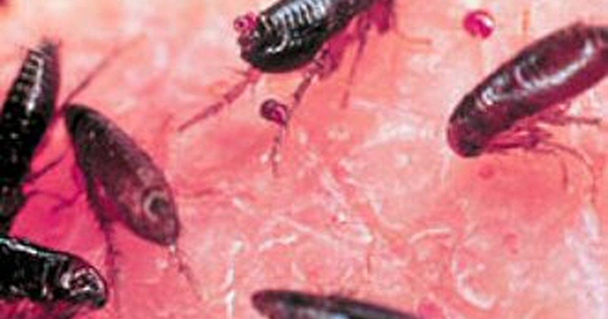 C mo matar los huevos de pulga ehow en espa ol - Matar pulgas en casa ...