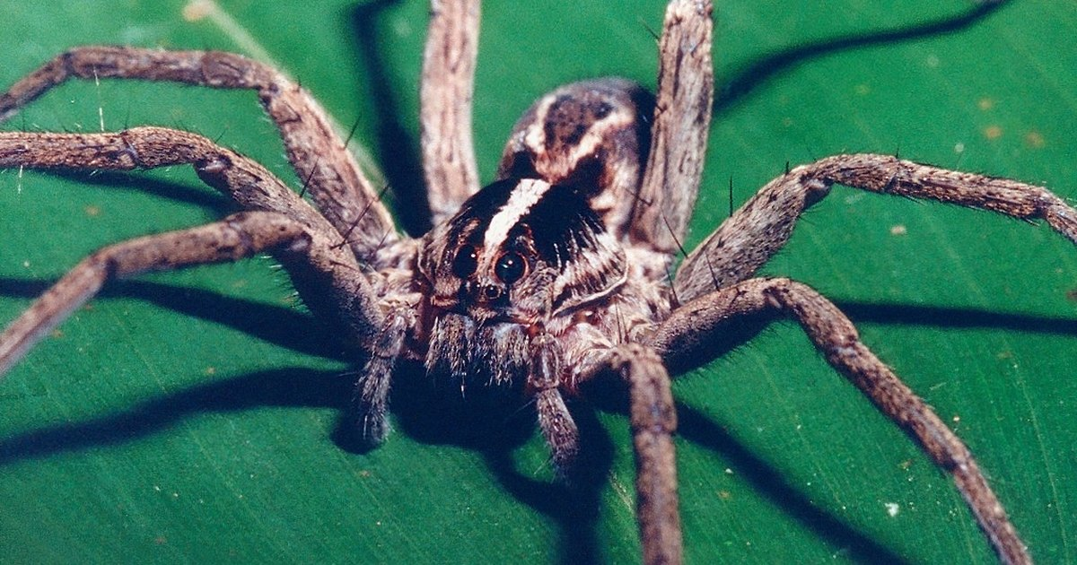 How to naturally get rid of wolf spiders ehow uk for How to get rid of spiders in the house uk