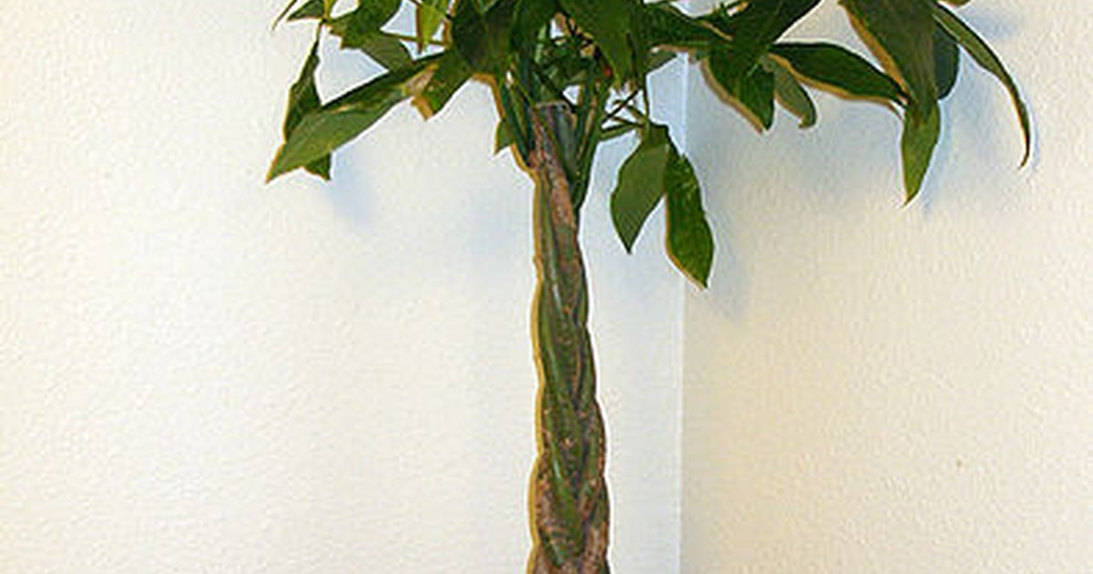 Care instructions for a money tree plant ehow uk - Fir tree planting instructions a vigorous garden ...