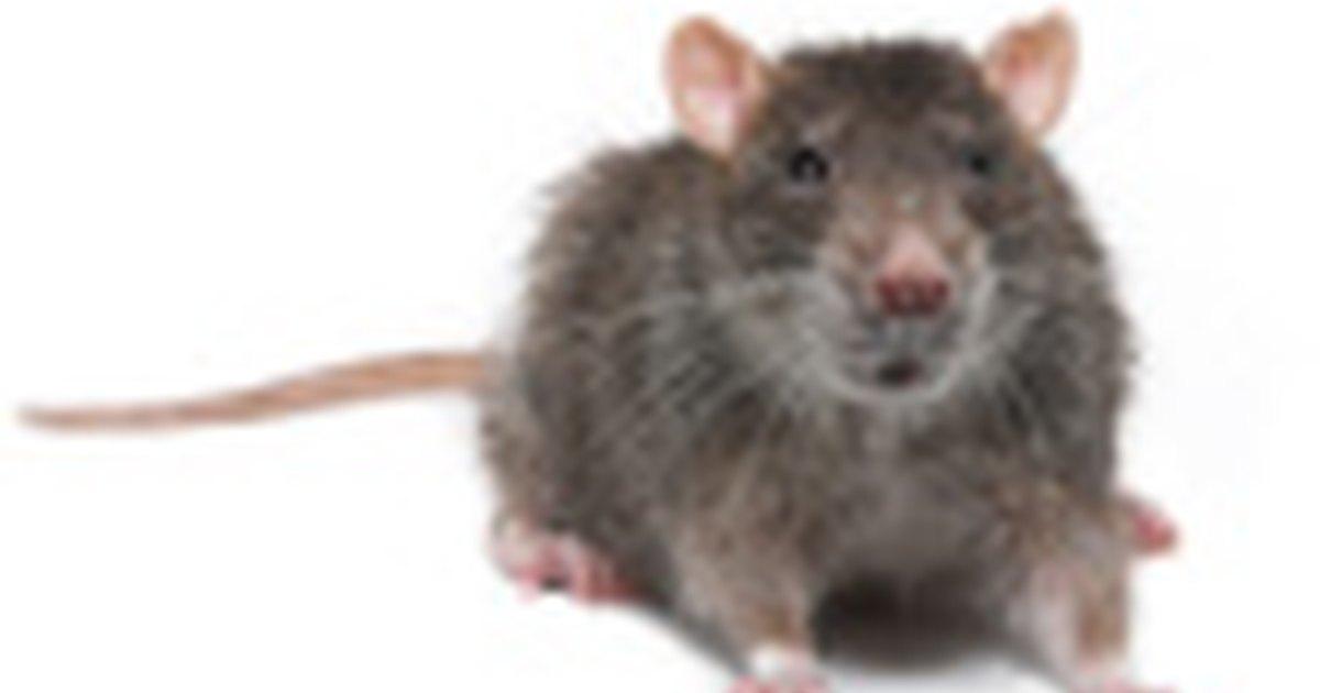 Does Mint Repel Rats eHow UK
