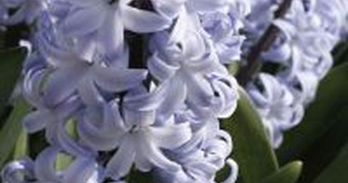 How To Save Hyacinth Bulbs Ehow Uk