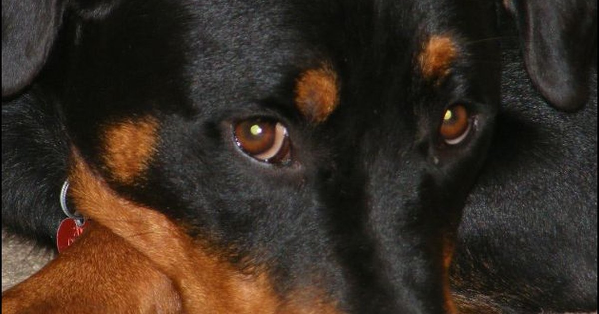 Causes Of Bloodshot Eyes In Dogs