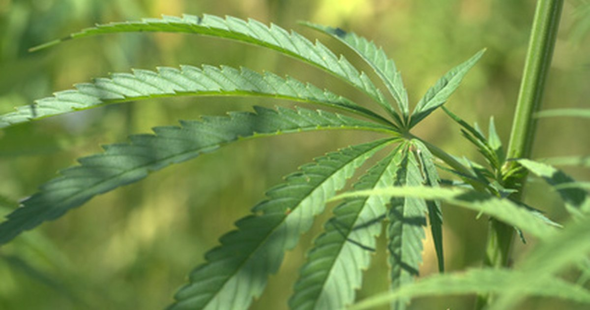 the persistent spread of marijuana in rhode island Providence, ri — marijuana legalization advocates are planning to  introduce a scaled-back version of their legislation that would legalize.