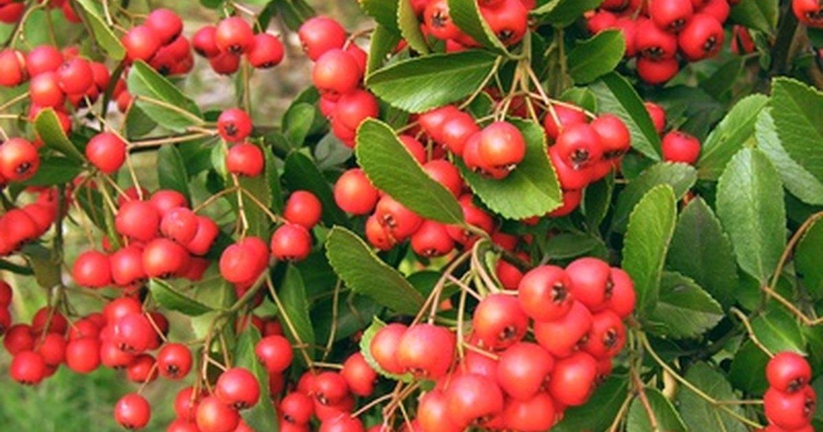 Hawthorn berries dosage