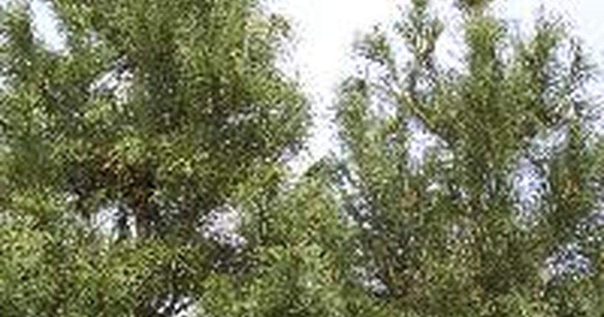 Rboles de pino y cedro de crecimiento r pido ehow en for Arboles perennes de crecimiento rapido
