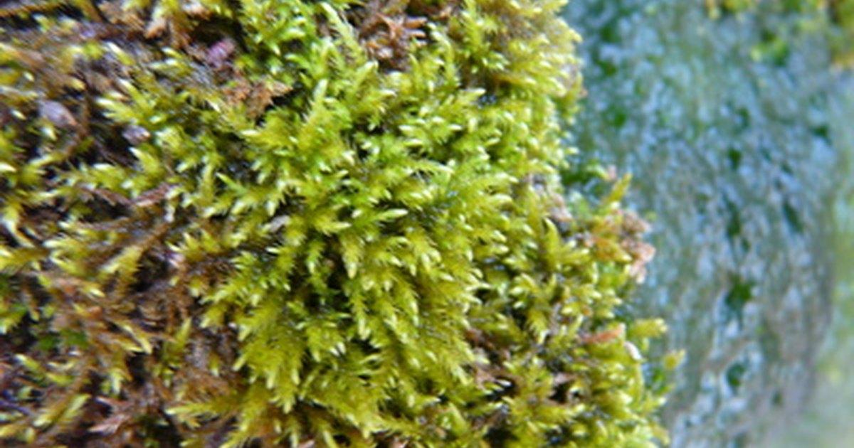 Image Result For Irish Moss Lawn Uk