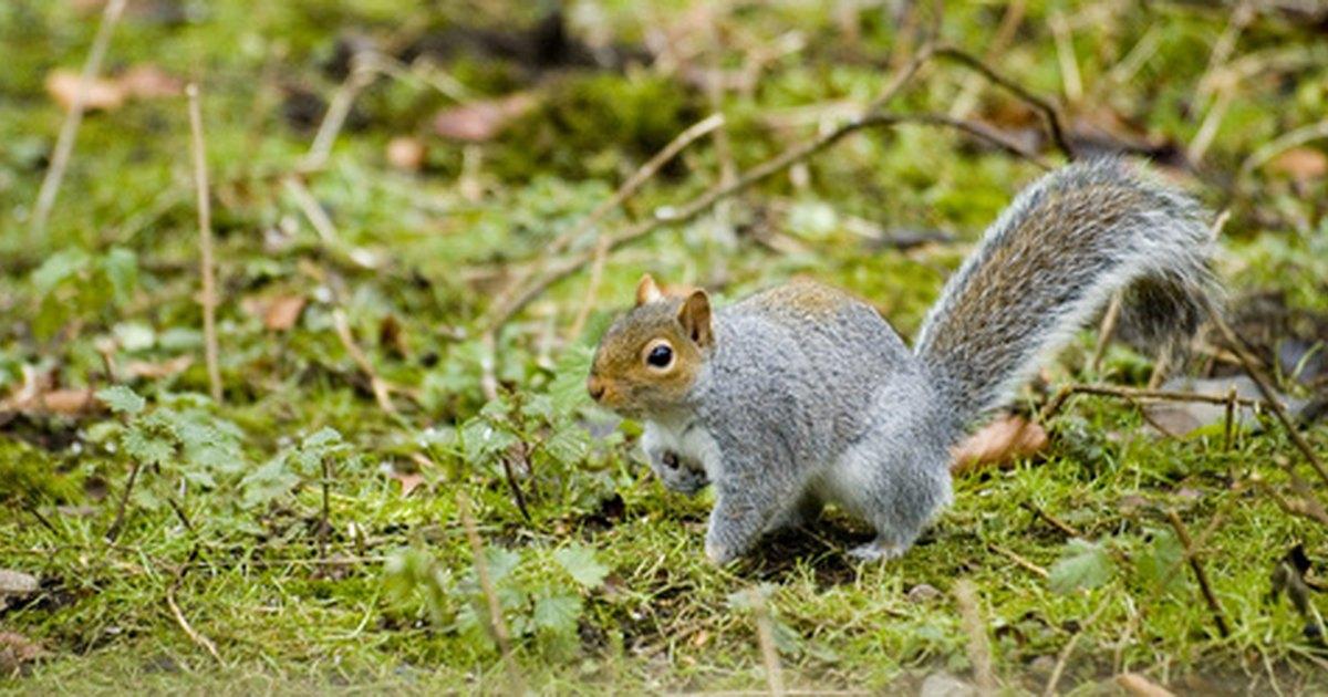 Squirrel Repellent Ingredients Ehow Uk