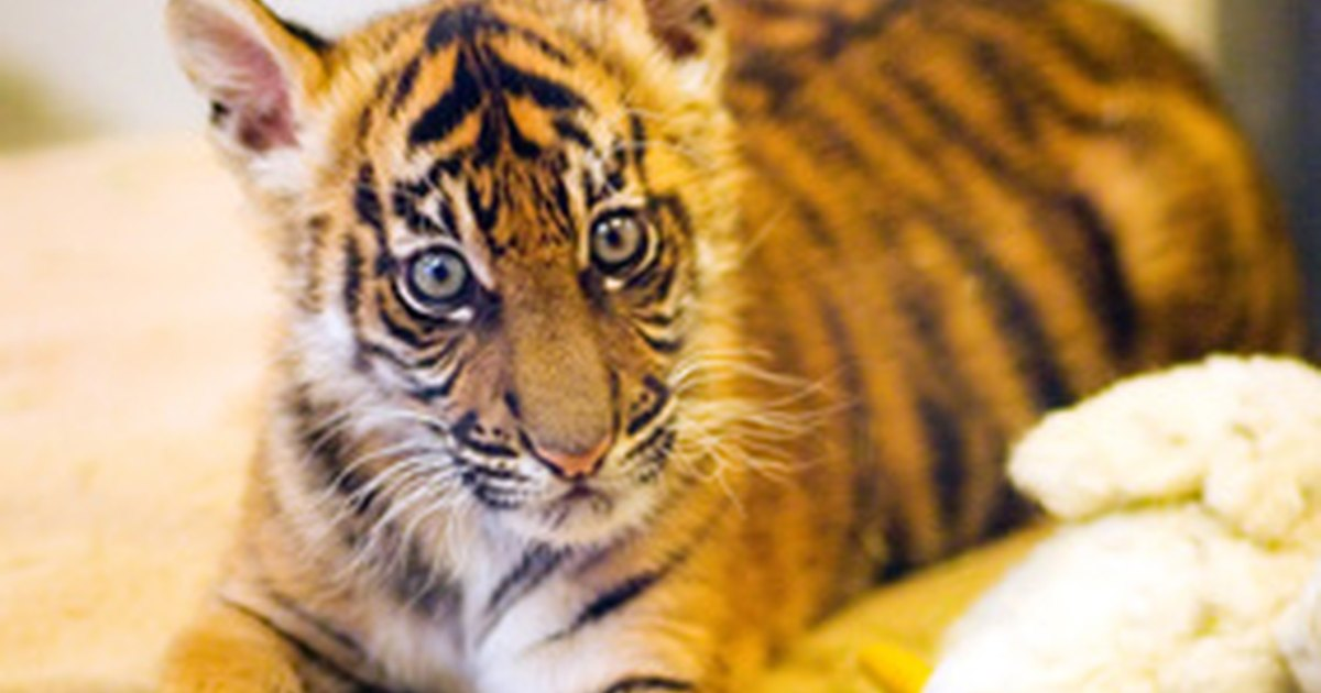 baby tigers information