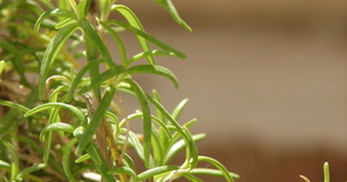 How To Save A Dying Rosemary Tree Ehow Uk