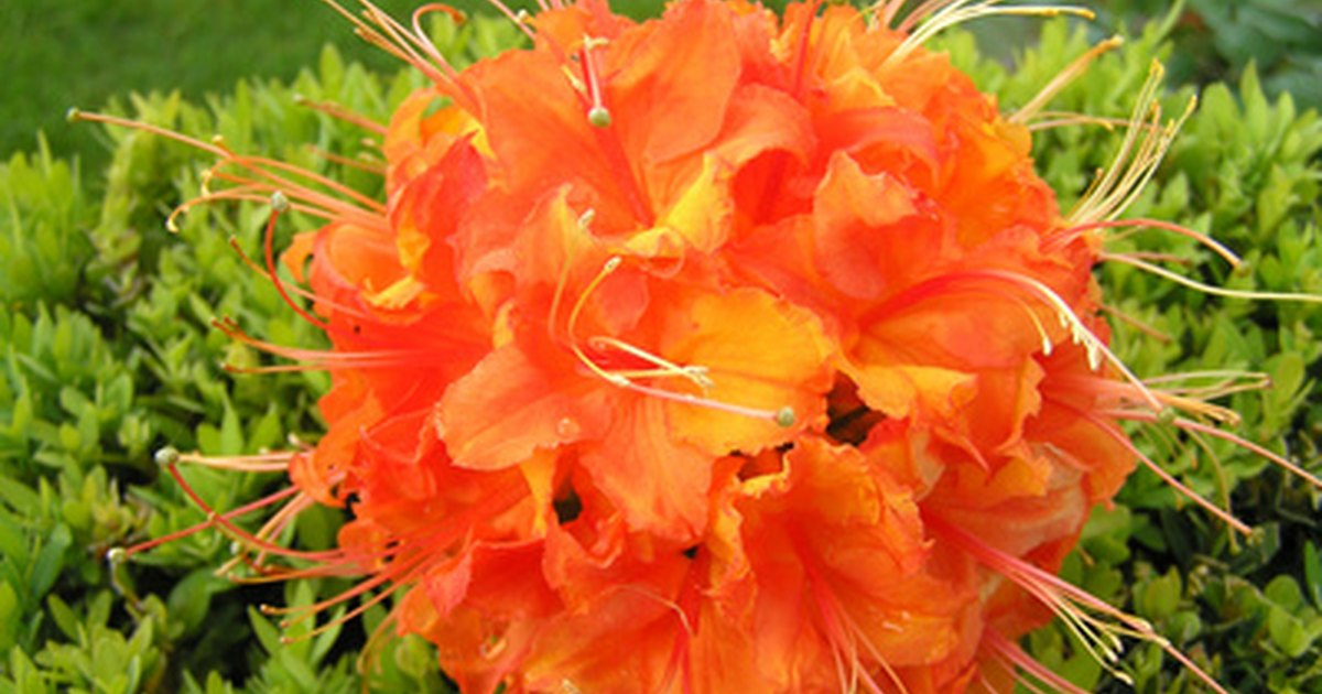 How to plant care for rhododendron ehow uk for How to care for rhododendrons after blooming