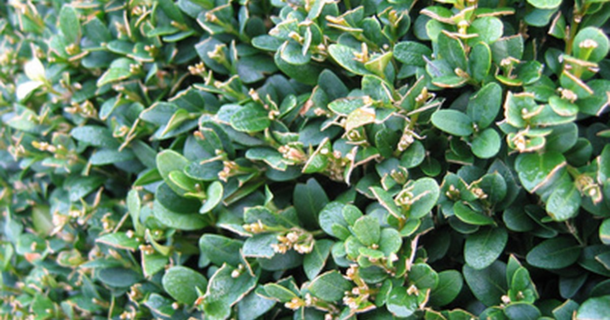 The Best Shrubs For A Tall Screen Quickly Ehow Uk