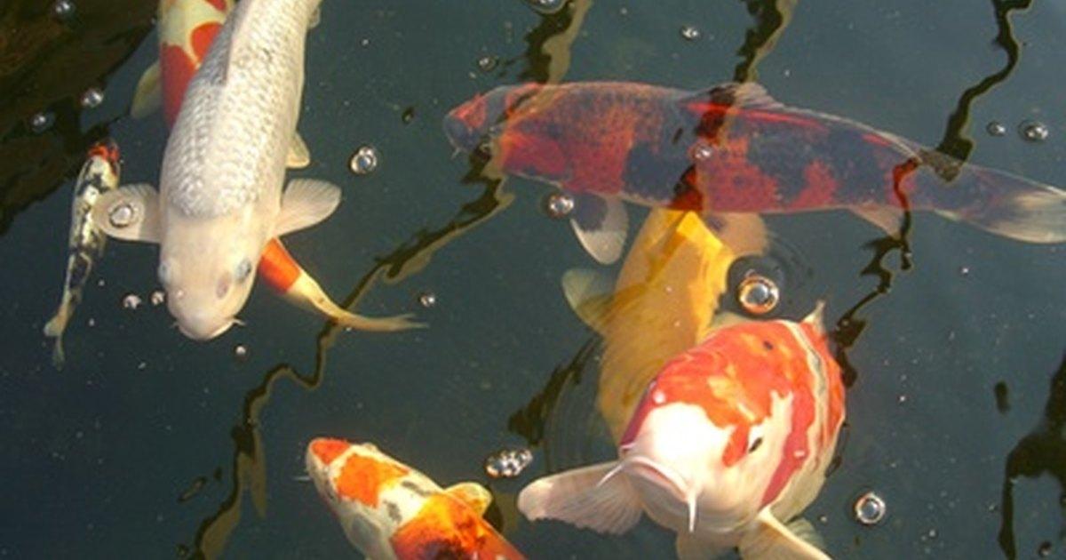 Pregnant koi fish ehow uk for Koi fish family