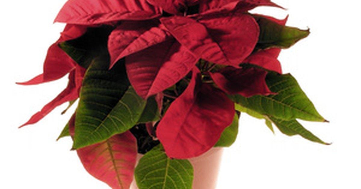 Qu plantas navide as son venenosas para los gatos - Plantas venenosas para gatos ...