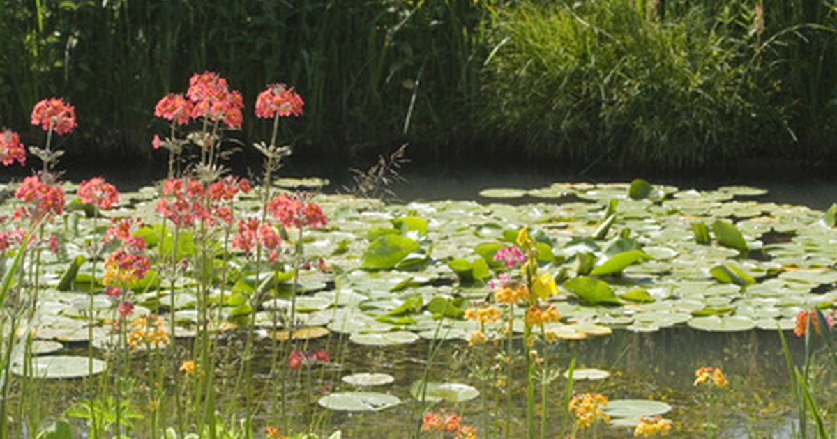 Plants to clean contaminated pond water ehow uk for Freshwater pond plants
