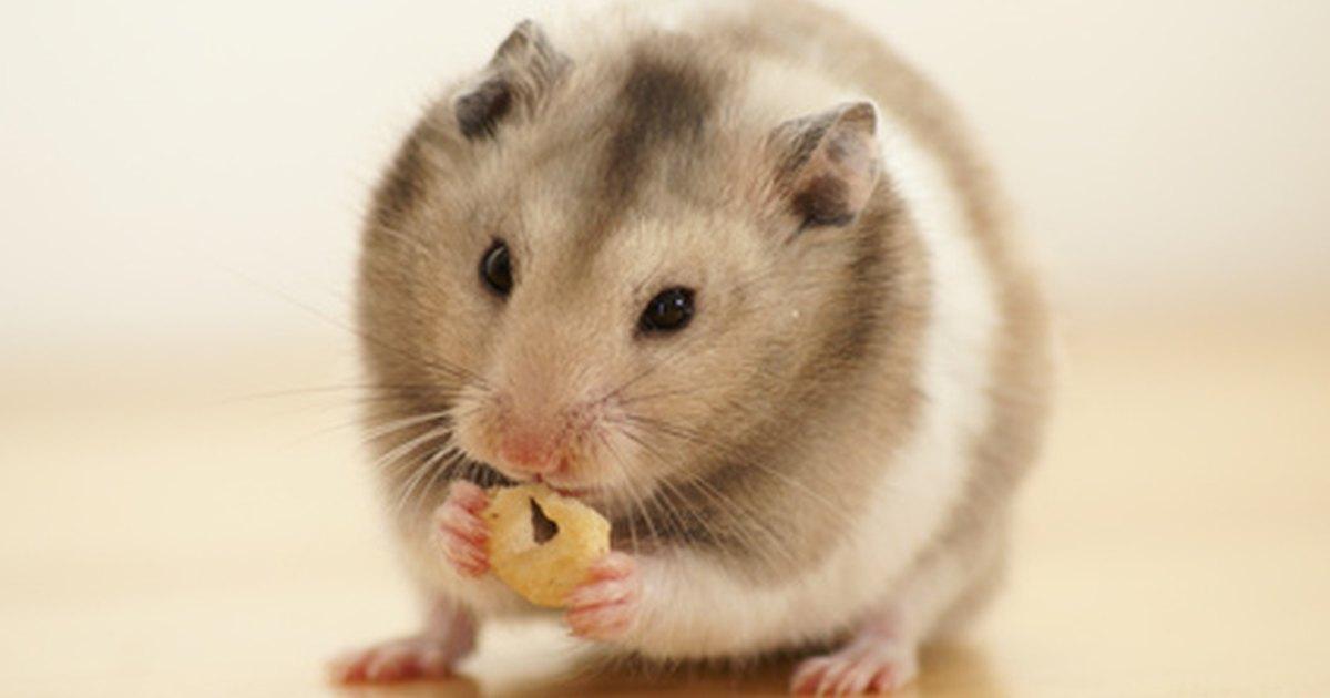 behavior of pregnant hamsters ehow uk
