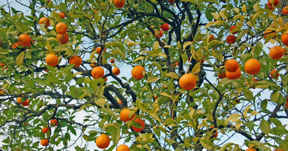 Las partes de un rbol de mandarina ehow en espa ol for Lista de arboles perennes
