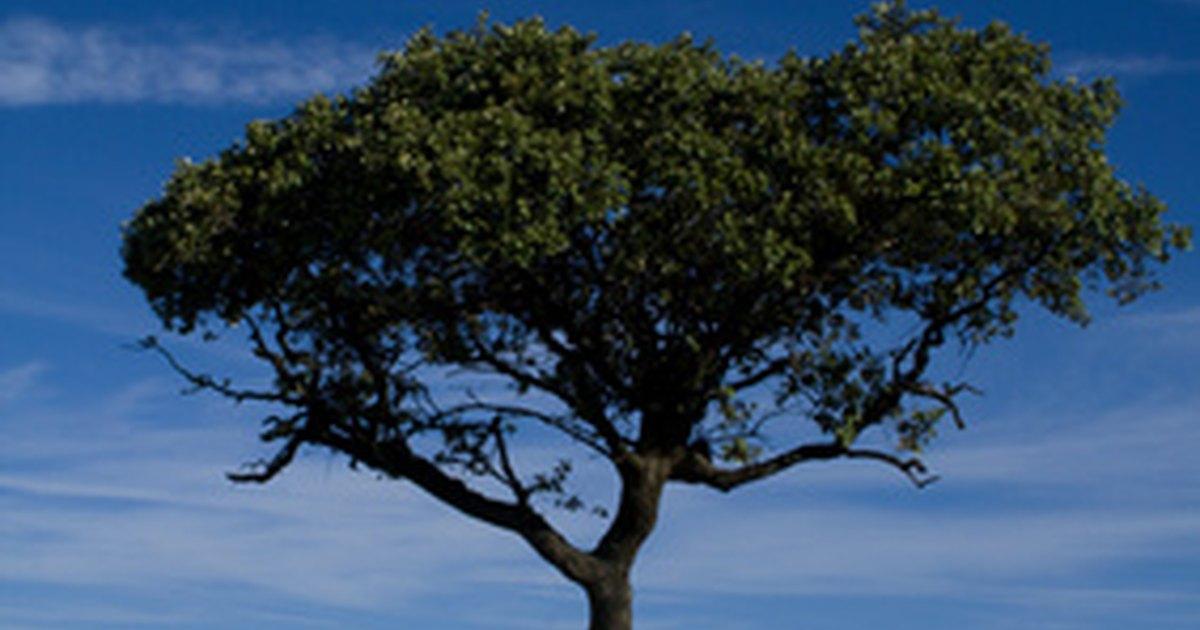 historia del rbol de cedro ehow en espa ol