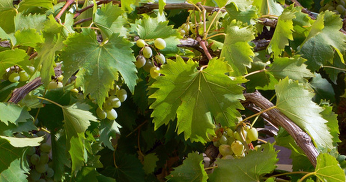 How to Identify Grapevines by the Leaves | eHow UK
