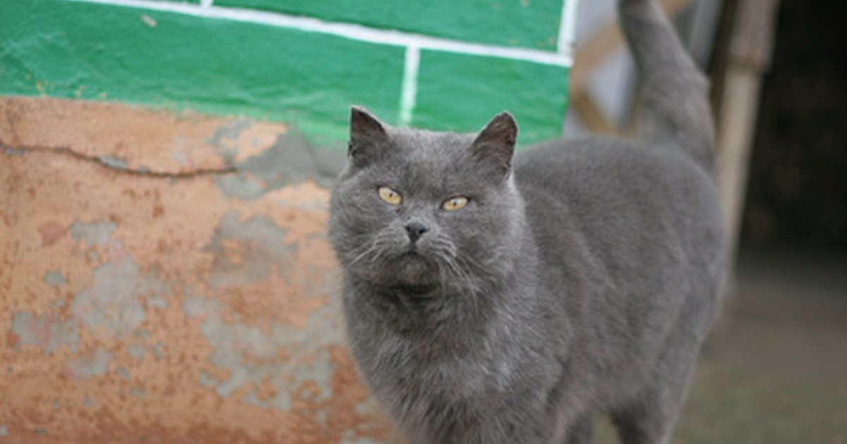 in a Russian Blue Cat From Grey Tabby Cat With Blue Eyes