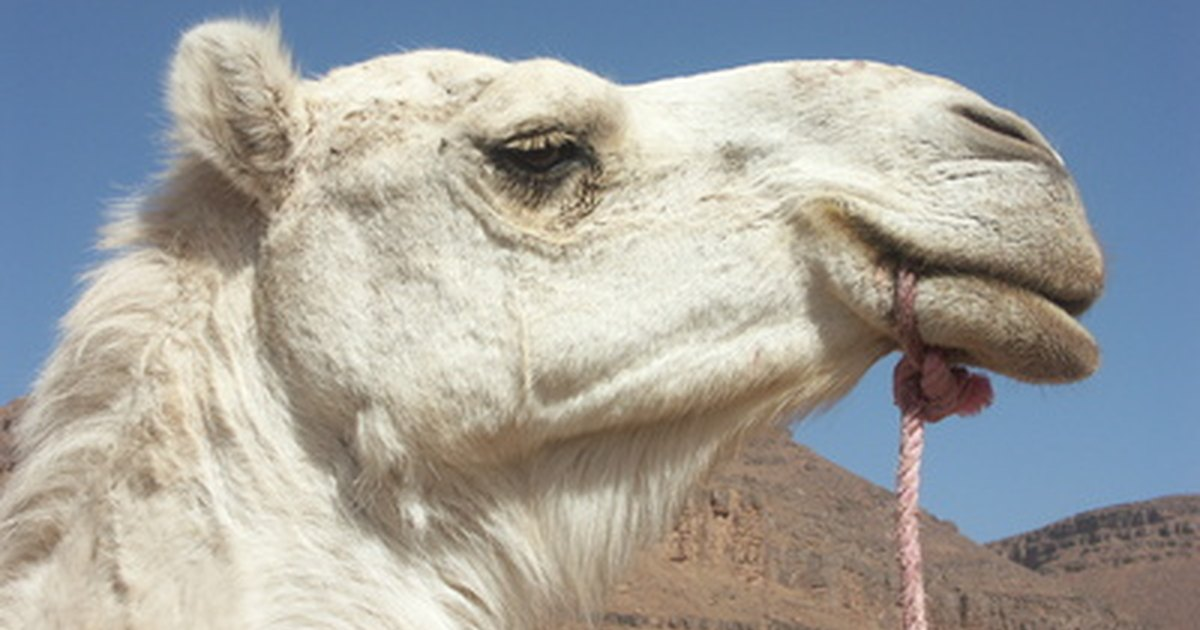What Is The Natural Habitat Of Camels Ehow Uk