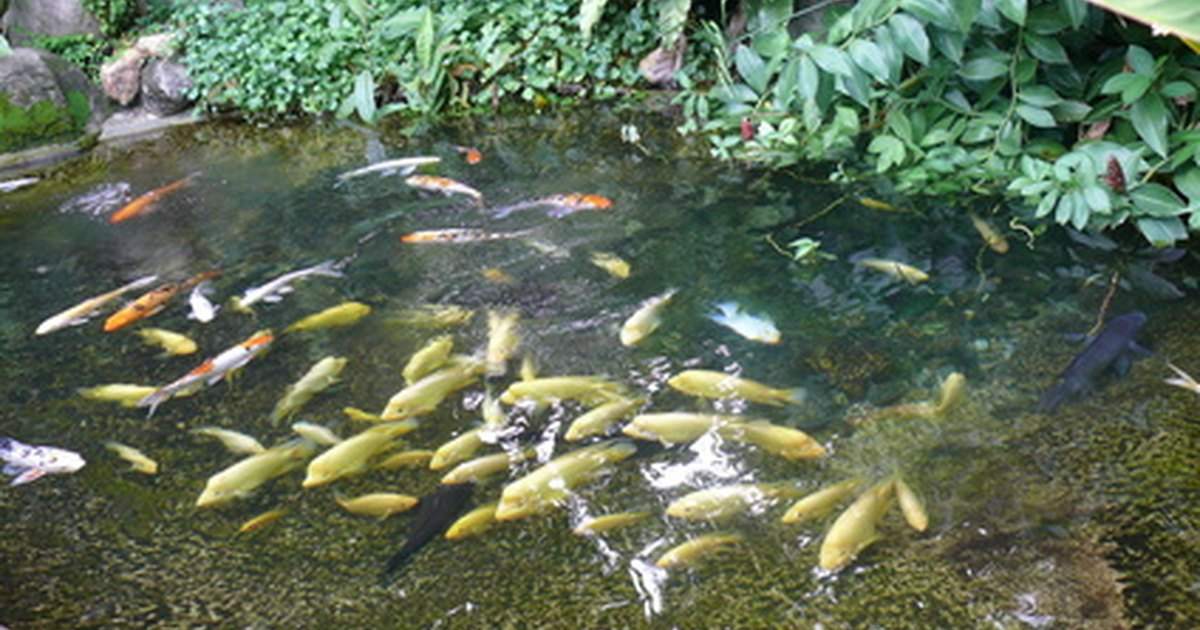 The minimum depth of ponds for fish in the winter ehow uk for Koi pond depth