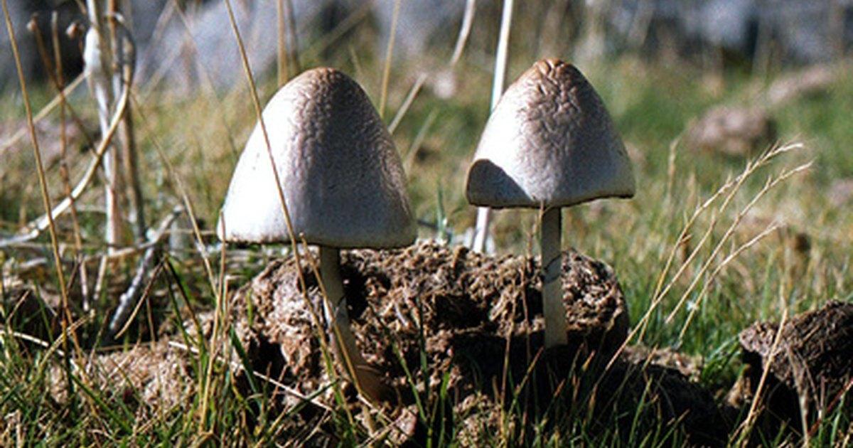 how to grow white cap mushrooms