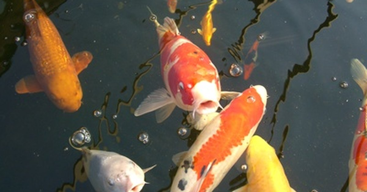 Pond size for koi ehow uk for Koi fish size