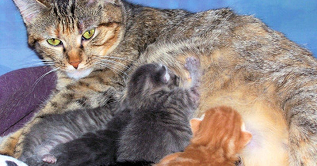 How To Treat Fleas On Nursing Cat