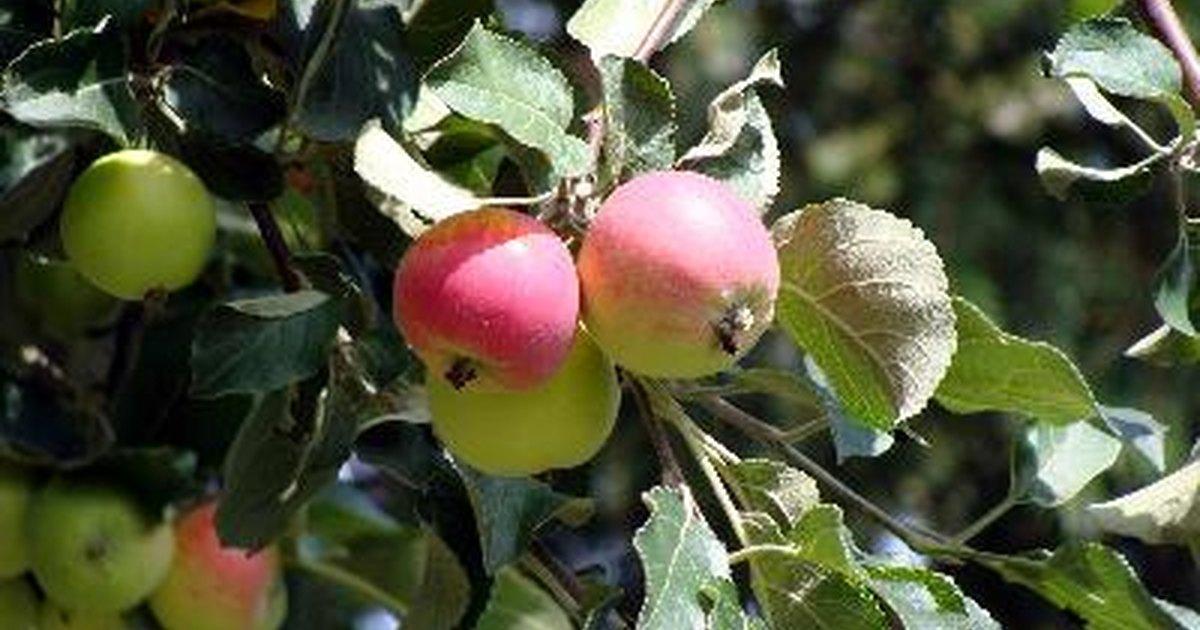 Caracter sticas de los rboles de manzana ehow en espa ol for Caracteristicas de arboles frondosos