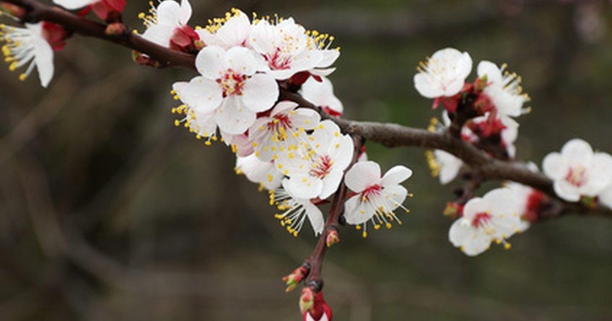 Symbolism Of Japanese Cherry Blossoms Ehow Uk