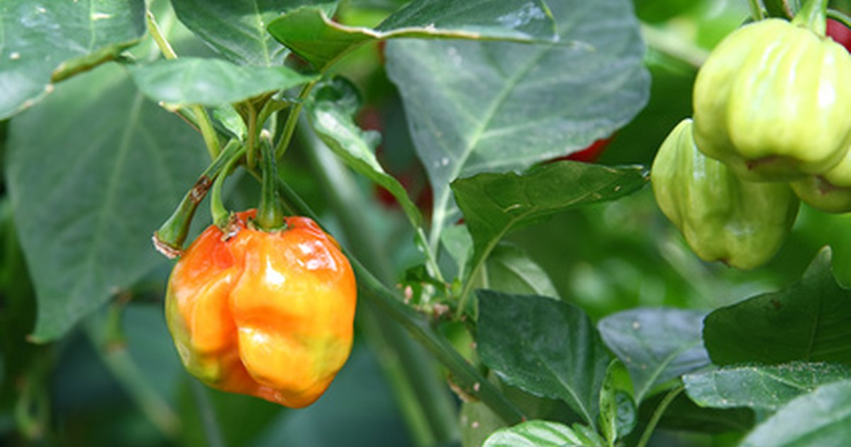 How to stop bugs from eating pepper plants ehow uk What to do with habanero peppers from garden