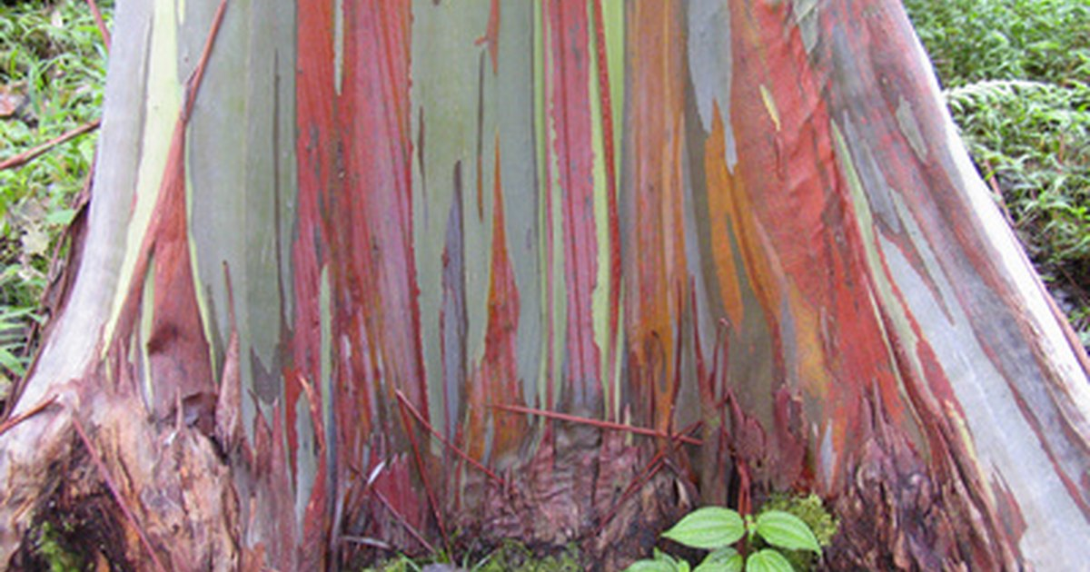 Rboles de eucalipto en m xico ehow en espa ol for Lista de arboles perennes