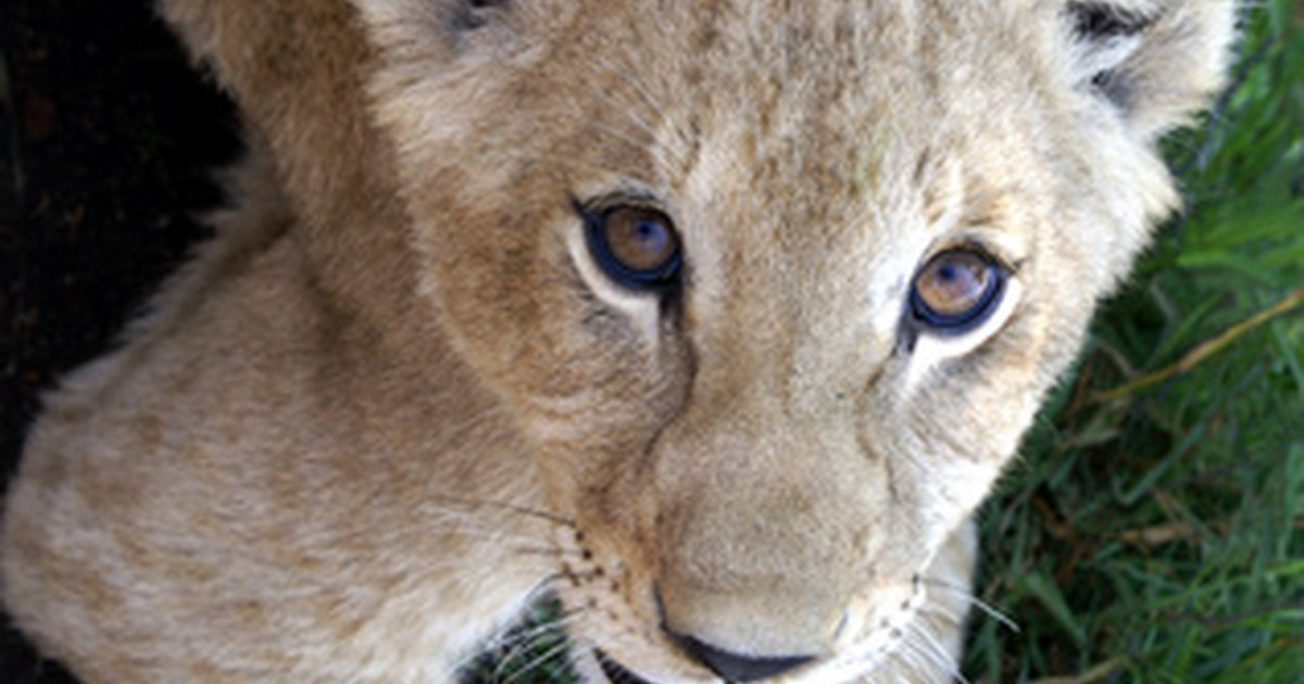 Facts on baby lions ehow uk