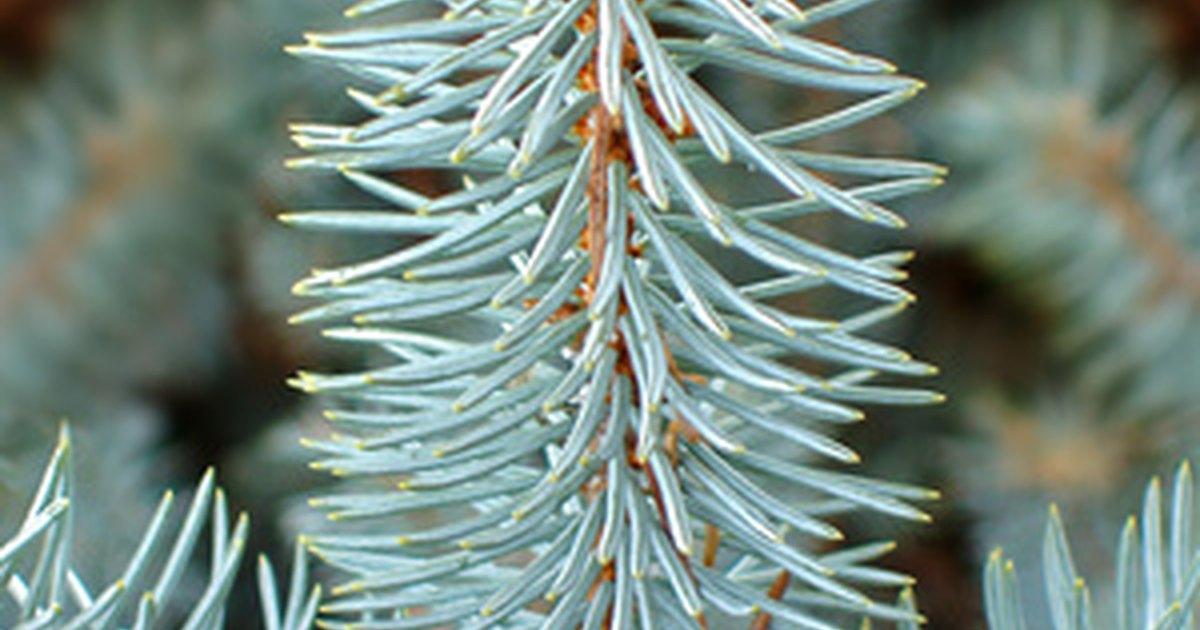 Diferentes tipos de pinos ehow en espa ol for Variedades de pinos para jardin