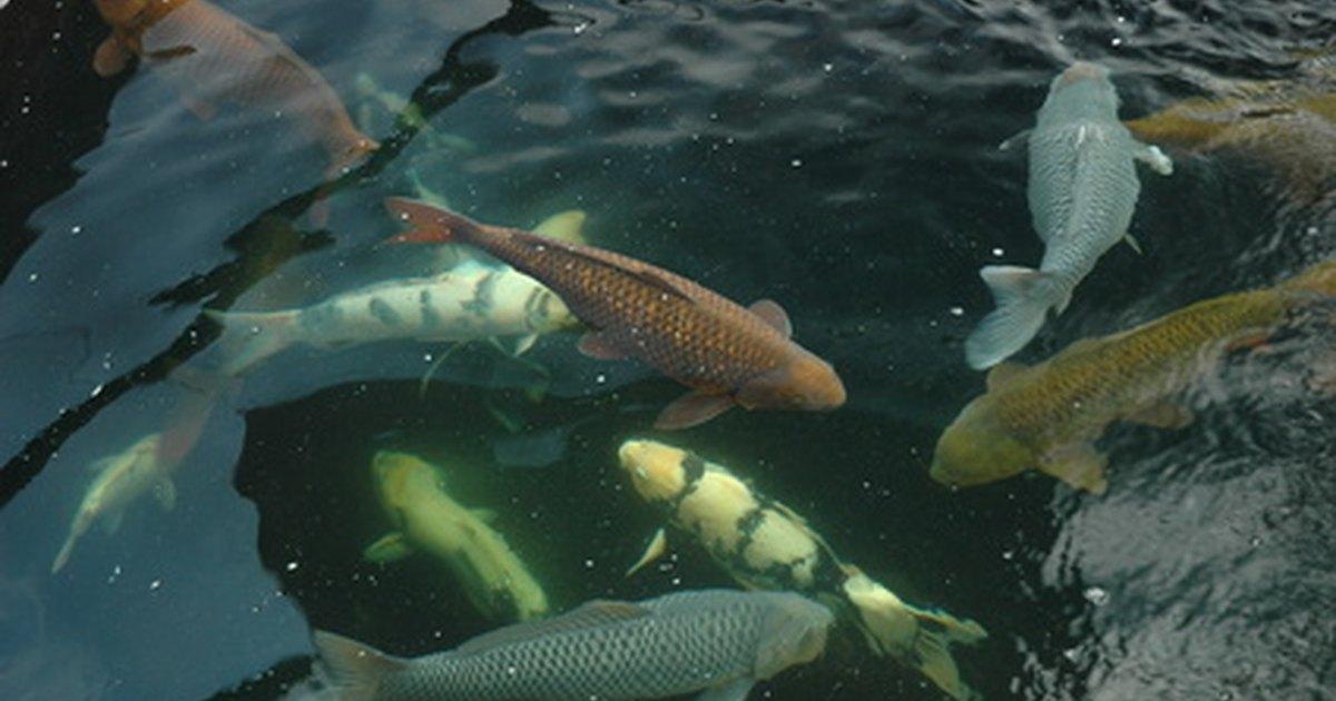 Por qu mueren mis peces de estanque ehow en espa ol for Comida peces estanque