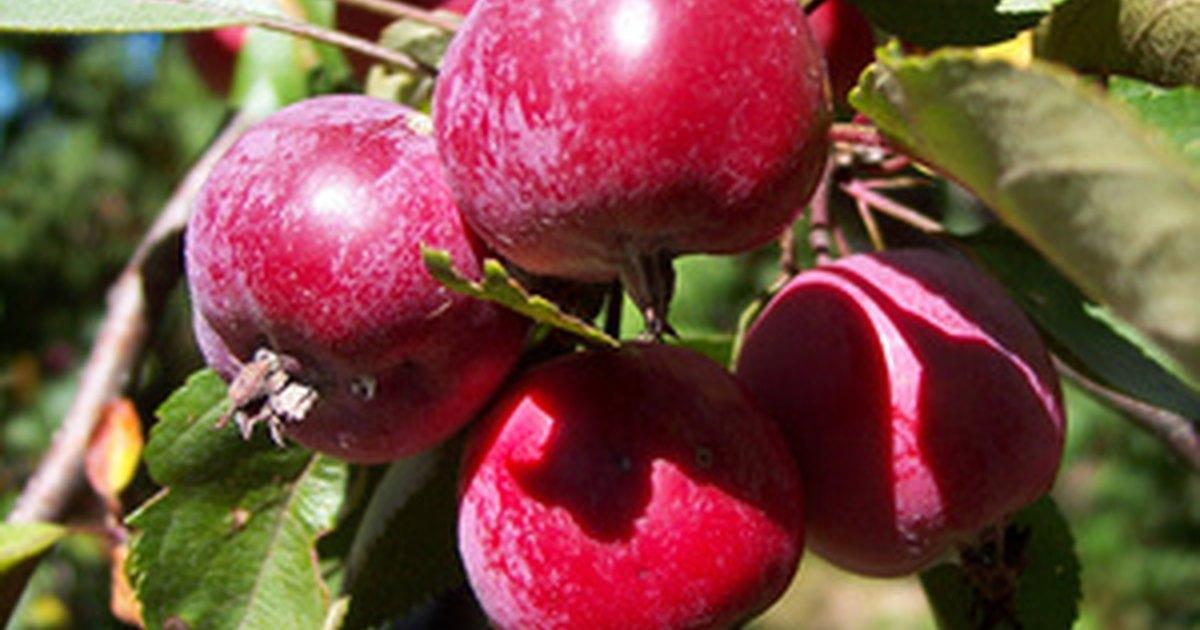Crab Apple Varieties Ehow Uk