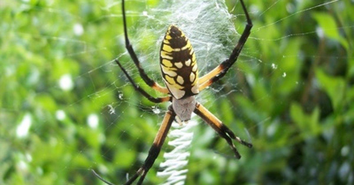 Yellow Black Garden Spiders Ehow Uk