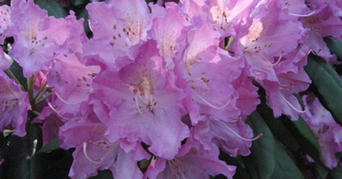 Rhododendron planting care ehow uk for How to care for rhododendrons after blooming