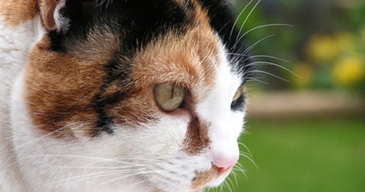 smushy face cat