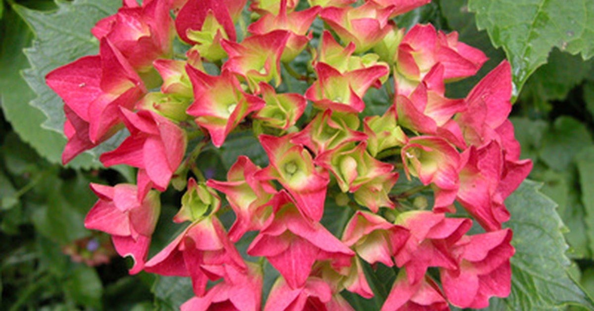 How to care for a hydrangea after the flowers wilt ehow uk - Care potted hydrangea ...