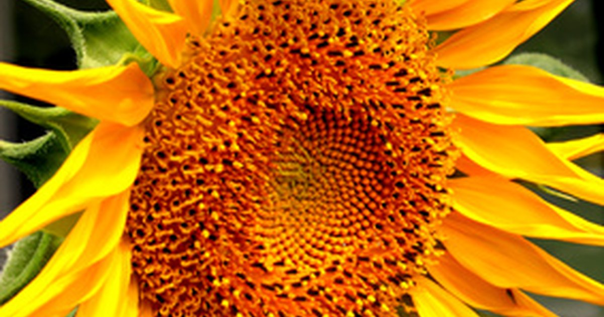 how long does it take to grow sunflowers