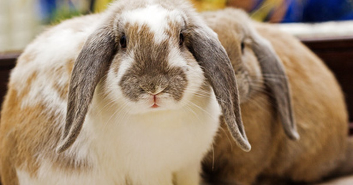 Lop eared rabbit pictures to pin on pinterest