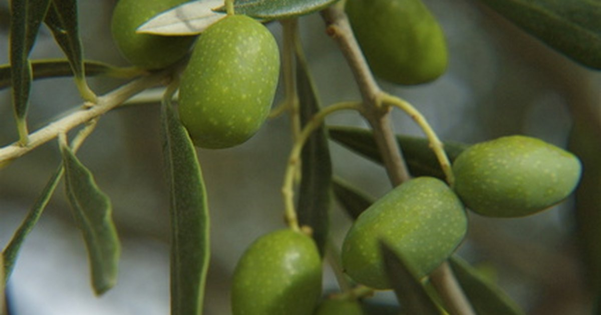 Olive trees in pots ehow uk for Fertilizing olive trees in pots