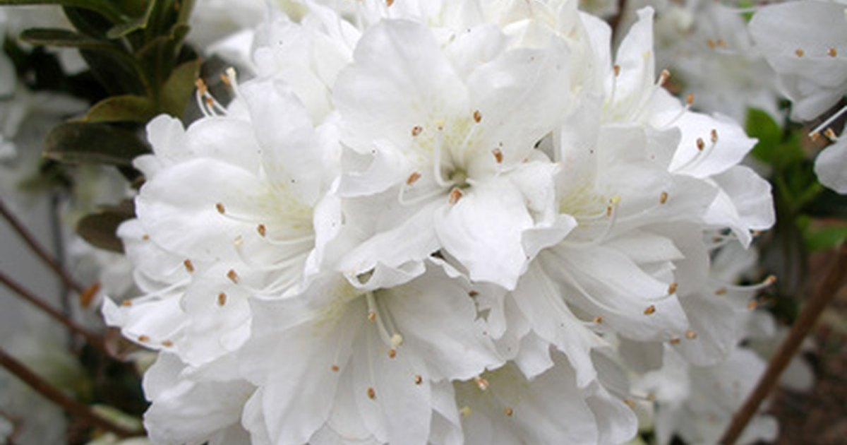White flowering shrubs ehow uk for White flowering bush