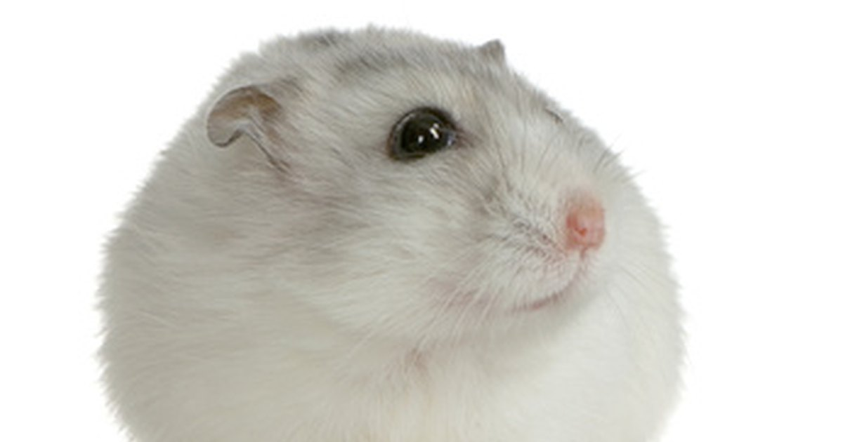 how to tell if a dwarf hamster is pregnant ehow uk