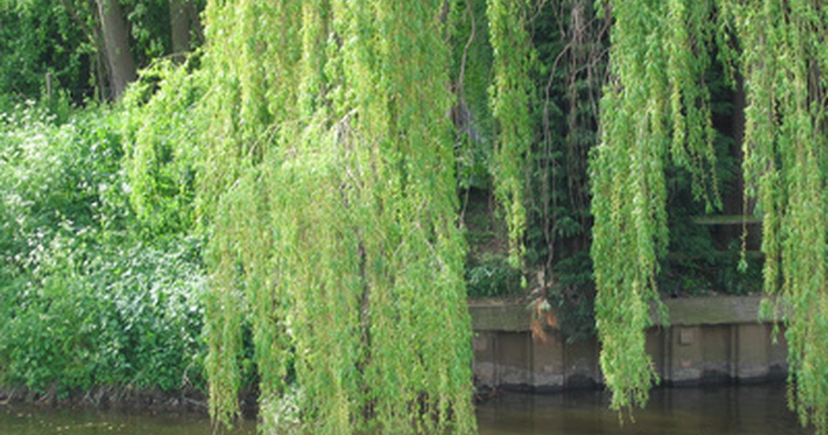 What Is The Meaning Of The Willow Tree Ehow Uk