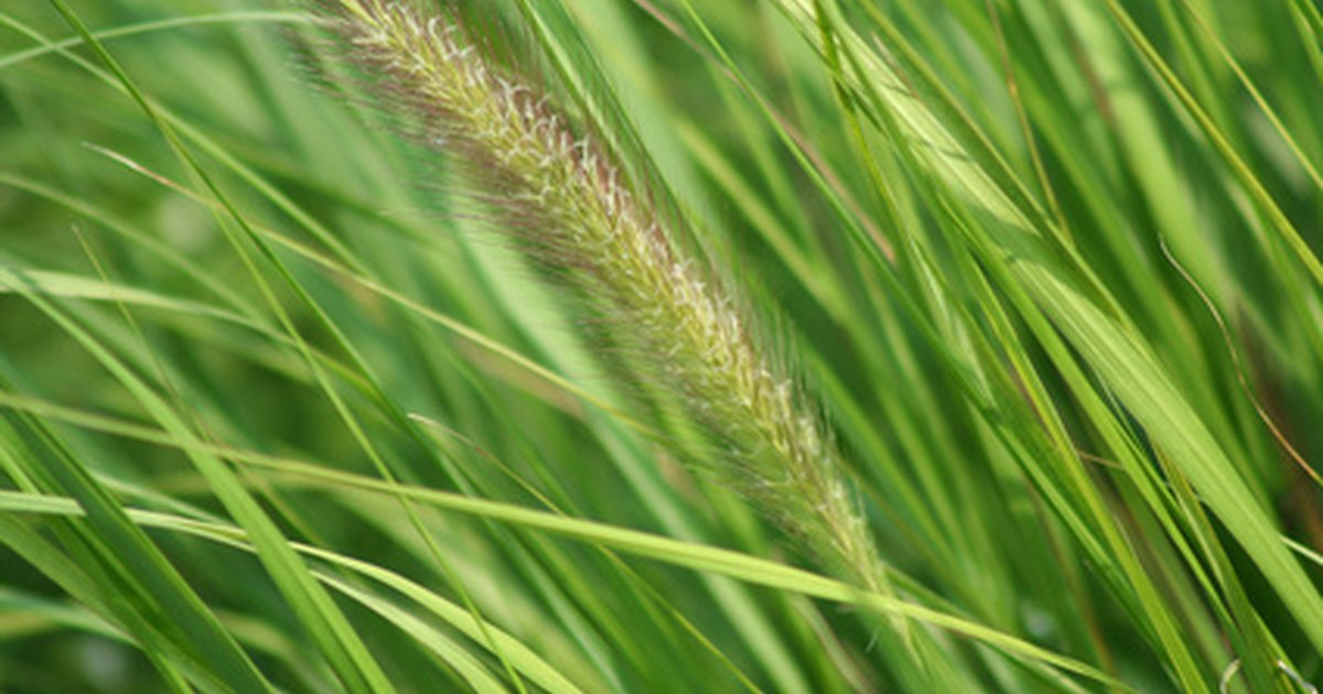 Fast growing tall grass ehow uk for Fast growing ornamental grass